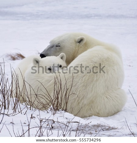 Square, close up image of a polar bear cub and sow, under a watchful eye.  Churchill, Manitoba, Canada