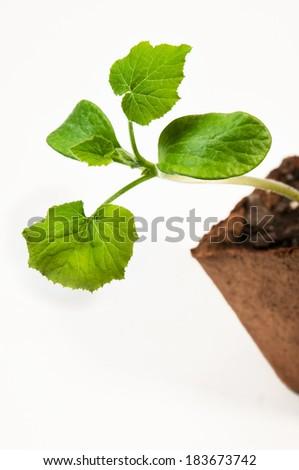 Squash Seedling - Isolated - stock photo