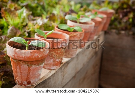 Squash seedlings in weathered terra cotta pots - shallow DOF, first seedling on left is the focus point - stock photo