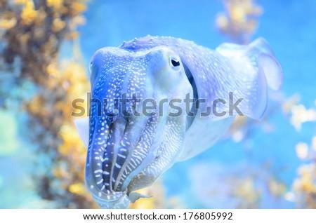 squid in aquarium - stock photo