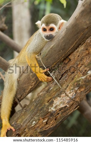 Squirel Monkey;a Common Squirrel Monkey (Saimiri sciureus) - stock photo