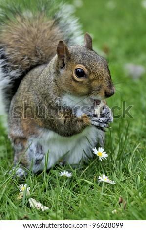 squirrel - stock photo