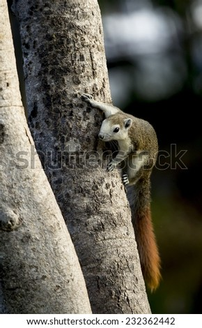 Squirrel climb up tree.Forward  look fixedly at something.Dark green background. - stock photo