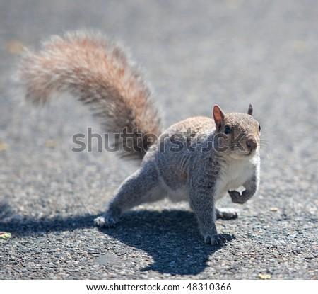 squirrel close up - stock photo