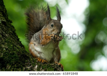 squirrel crunches nuts sitting on the branch of the tree in the forest - stock photo