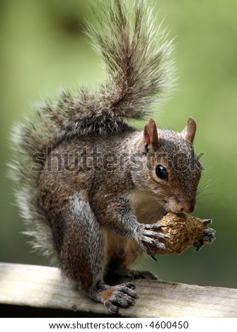 Squirrel eating - stock photo