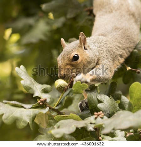 Squirrel eating acorns, square cropped - stock photo