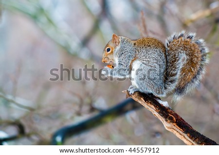 Squirrel eating an acorn on a tree branch