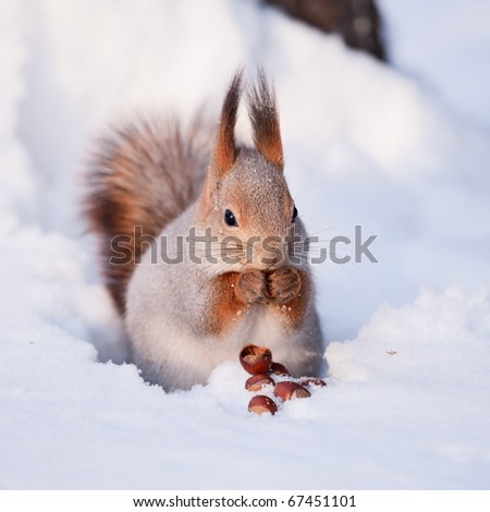 Squirrel eating nut on the snow - stock photo