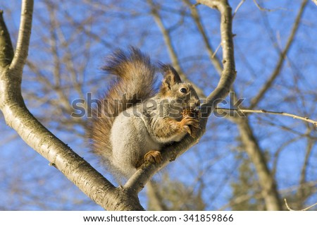 Squirrel eating nuts. Squirrel in the winter. Wildlife. Squirrel eats pine nuts. Squirrel on naked branches, fluffy fur, wild rodent, the animal in the forest. Beautiful squirrel.  - stock photo