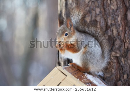 Squirrel eating sitting on the feeder at winter - stock photo