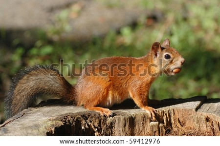 Squirrel, eating the nut