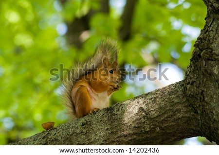 squirrel eats nuts sitting tree on branch - stock photo