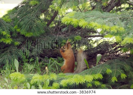Squirrel eats on the fir tree