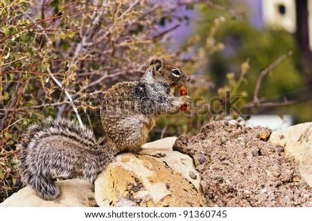 Squirrel Enjoying Cheetos - stock photo