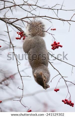 Squirrel feeding on mountain ash berries - stock photo