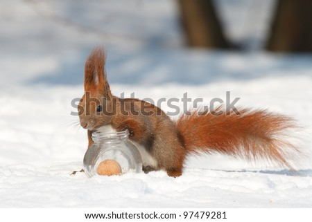 Squirrel gets a nut from a glass jar - stock photo