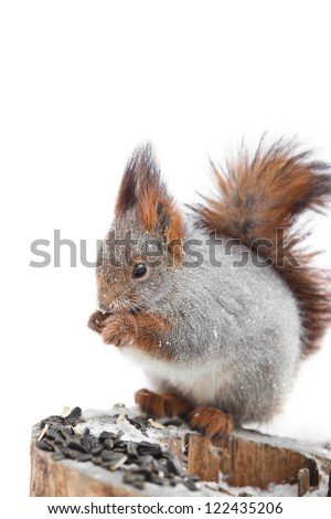 Squirrel gnawing seeds on a white background