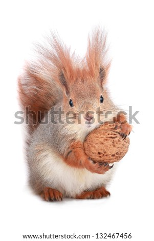 squirrel holds a walnut on a white background