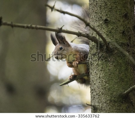 Squirrel in a forest in the wild. Photographed in Moscow .