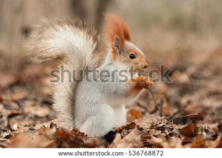 Squirrel in autumn forest.