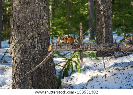Squirrel in the Woods, Sakhalin Island, Russia