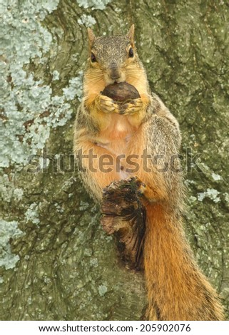 Squirrel in Tree with a nut  - stock photo