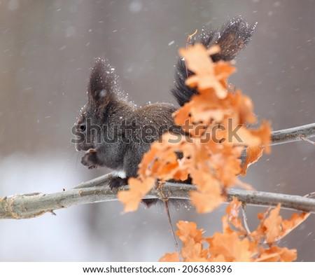 Squirrel in winter while snowing, lat. Sciurus vulgaris - stock photo