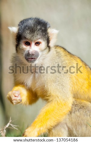 squirrel monkey  - stock photo