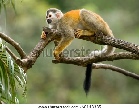 Squirrel monkey in a branch in Costa Rica - stock photo