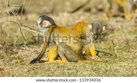 Squirrel Monkey (Saimiri boliviensis) in Holland looking for food - stock photo