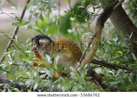 Squirrel Monkey sitting in the trees