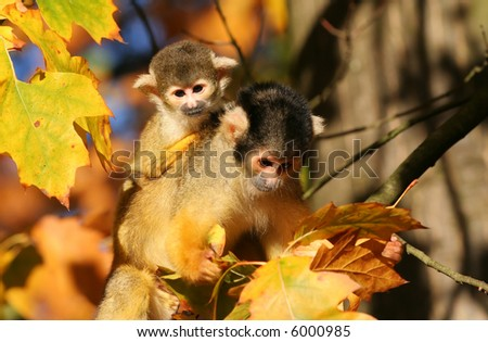 Squirrel monkey with infant - stock photo
