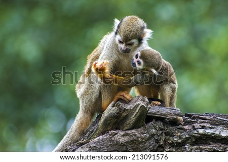 Squirrel monkey with its cute little baby - stock photo