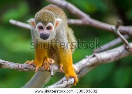 Squirrel monkeys in the trees - stock photo