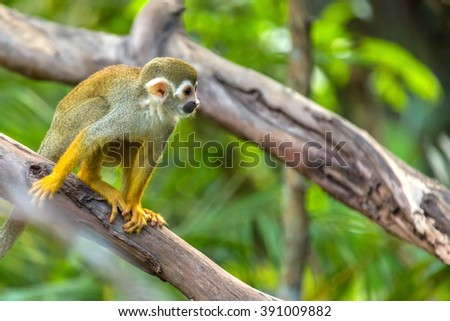 Squirrel monkeys in trees - photo#11