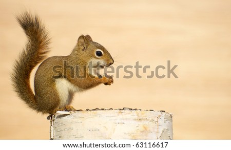Squirrel on a birch log enjoying some sunflower seeds in the autumn with copy space. - stock photo