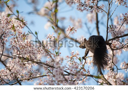 Squirrel on a branch of a Japanese cherry blossom trees in the morning light. Spring sunrise in High Park, Toronto - stock photo