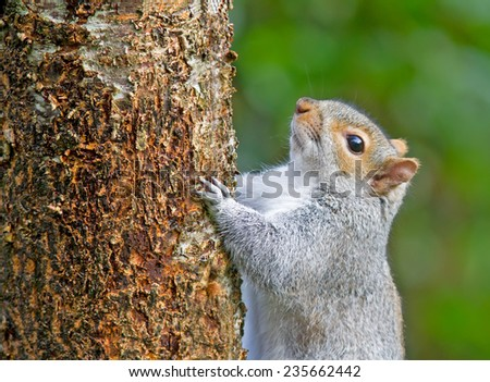 Squirrel on a cherry tree. - stock photo