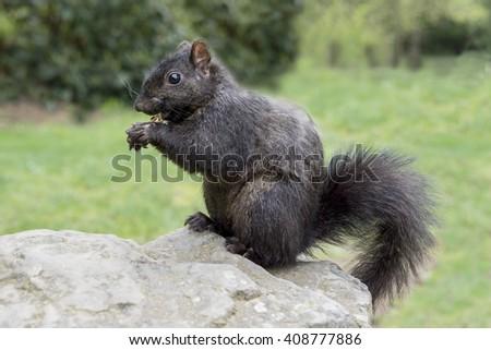 Squirrel   on a rock closeup - stock photo