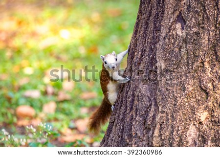 Squirrel perched on a tree trunk in the Wachirabenchathat Park or Suan Rod Fai, Bangkok, Thailand - stock photo
