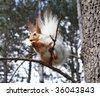 Squirrel (Sciurus vulgaris altaicus Serebrennikov) eating nuts. - stock photo