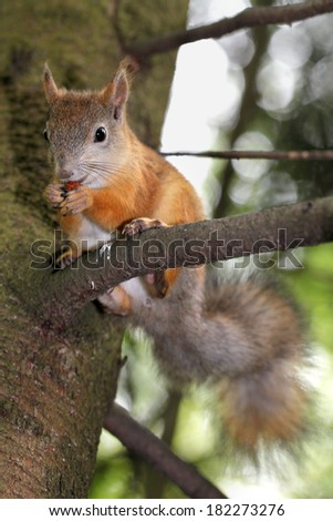 Squirrel sits on a tree branch and eating a nut - stock photo