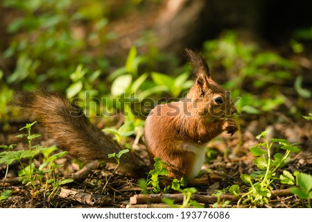 squirrel sitting in the woods and gnaws nuts - stock photo