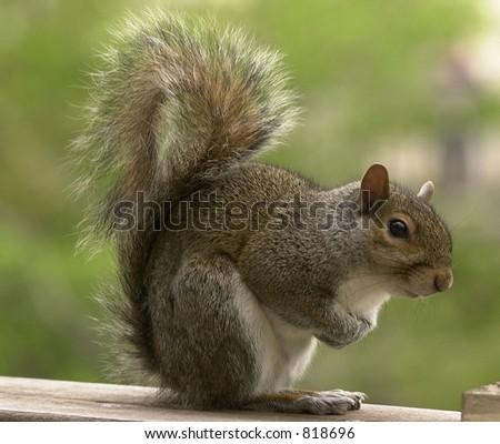 Squirrel sitting on deck - stock photo