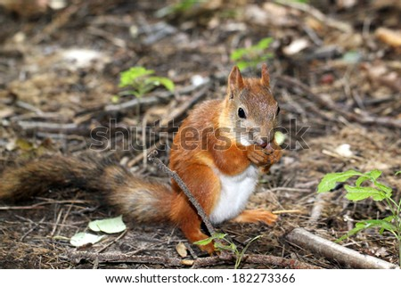 Squirrel sitting on the ground and eats a nut - stock photo