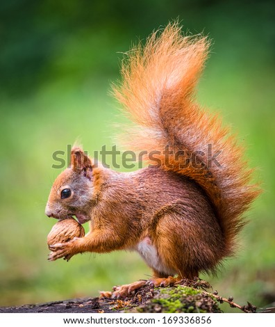 Squirrel, spring with nuts - stock photo