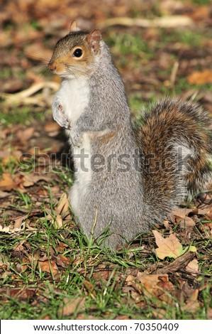 Squirrel Standing - stock photo