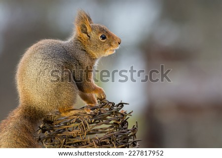 squirrel standing on barbed wire