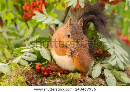 squirrel standing on moss surrounded by rowan berries